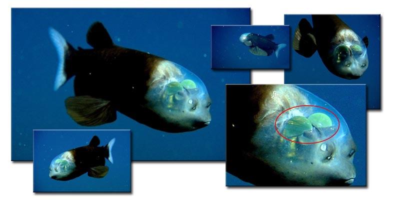 ryba-s-prozrachnoi-golovoi