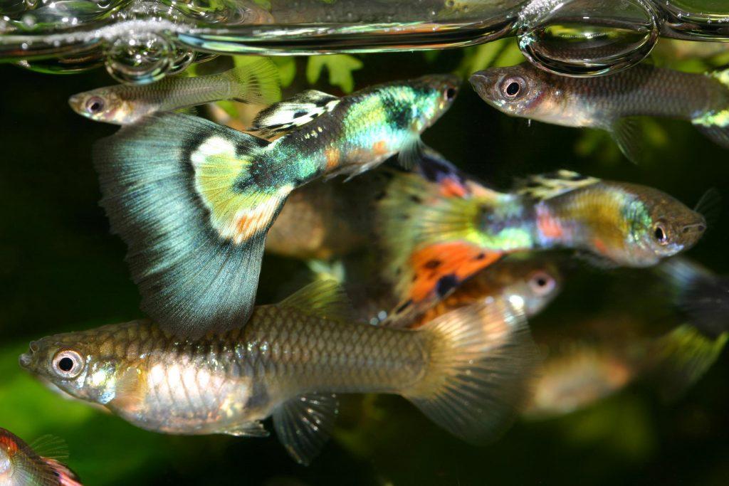 Красивые рыбки гуппи