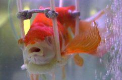 Золотая рыбка перестала исполнять желания!?