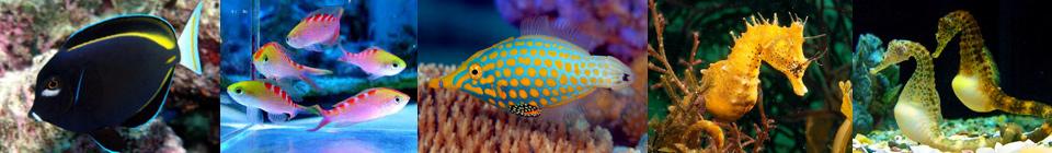 Rock Beauty Angelfish (Holacanthus tricolor) Согласно печальной статистике, около половины всех рыб этого вида погибает в первый же месяц.