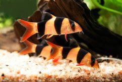 самые яркие аквариумные рыбки
