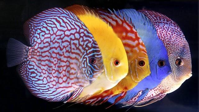 Топ пресноводных аквариумных рыбок