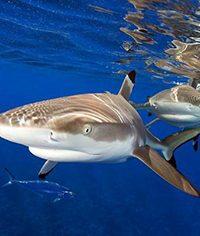 Акула в домашнем аквариуме