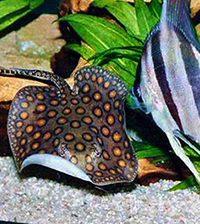 Совместимые виды аквариумных рыб