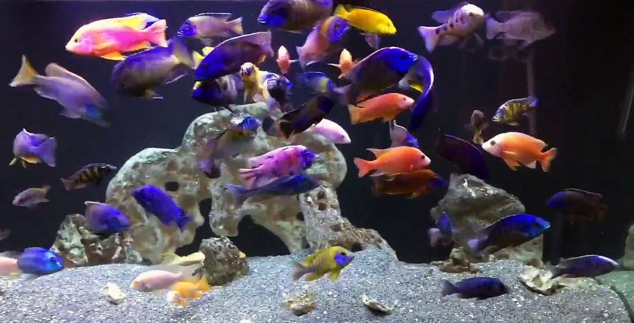 Африканские цихлиды идеальны для псевдоморского аквариума