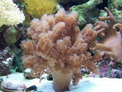 Кожистые кораллы
