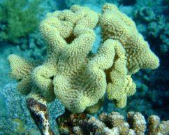 Поганковые и кожистые морские грибы