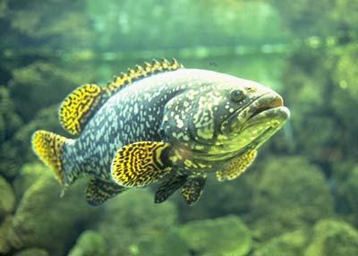 Умерла знаменитая рыба, излечившаяся от рака