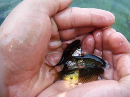 Процедура такого экзотического педикюра была абсолютно безболезненной, поскольку рыбки аккуратно отщипывали только омертвевшие чешуйки кожи.