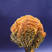 Огненный коралл