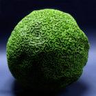 Коралл искусственный Мозговик XXL