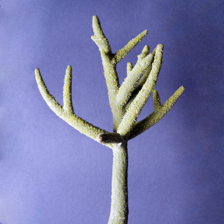 Коралл стагхорн малый