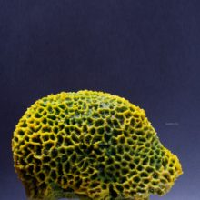 Коралл мозг