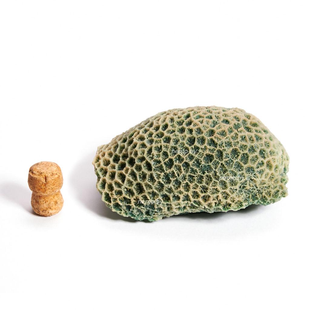 Коралл мозговик средний