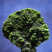 Коралл салат