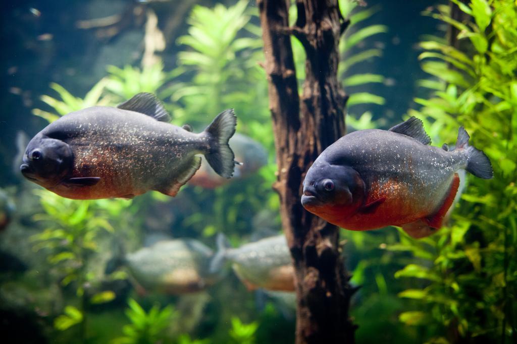 Поскольку аквадизайн создавался специально под Неттерери, выглядели они в аквариуме просто сногсшибательно.