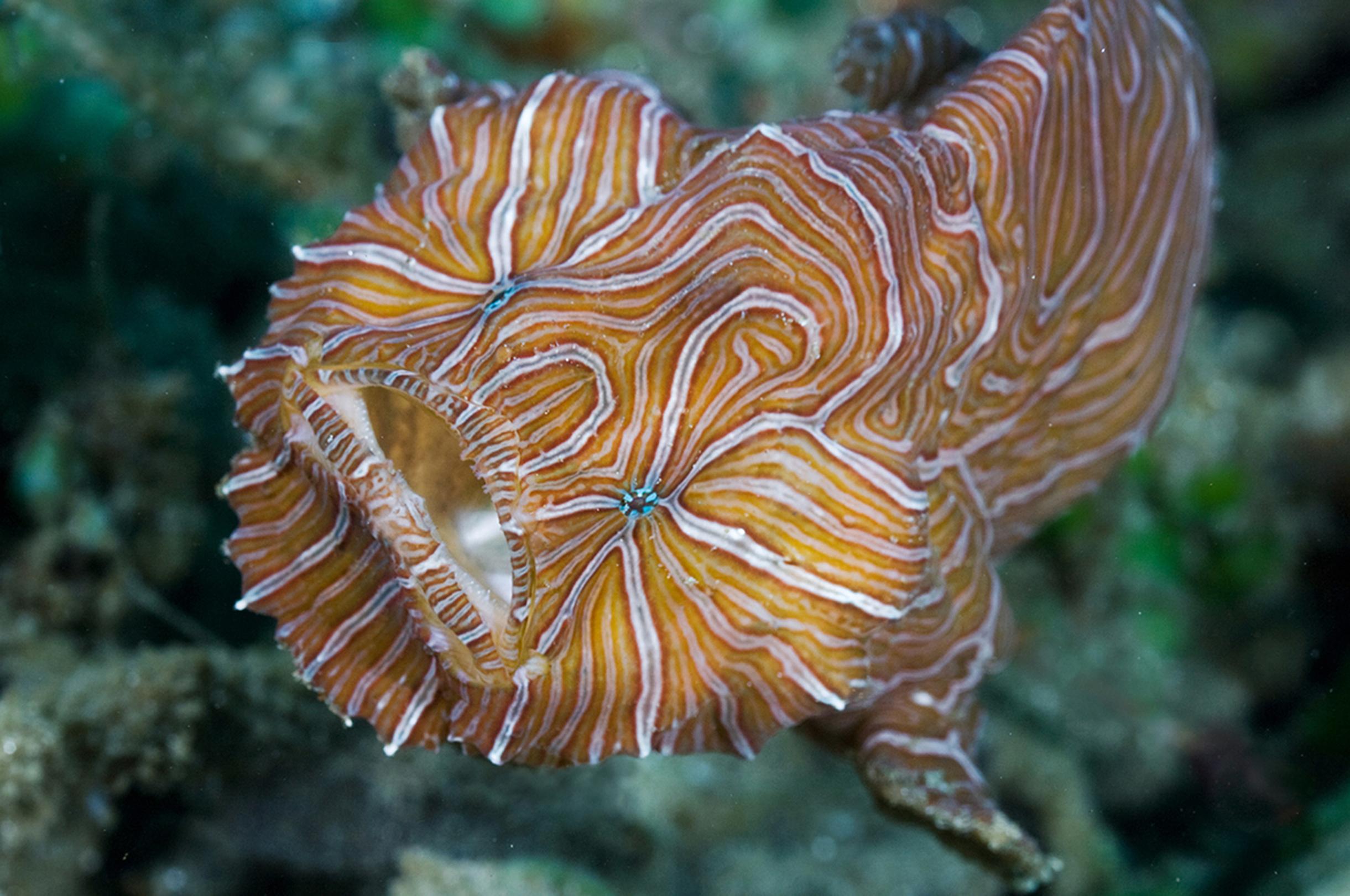 Фрогфиша, имеющего, весьма необычный дизайн камуфляжа, водолазы обнаружили в акватории порта одного из Индонезийских островов