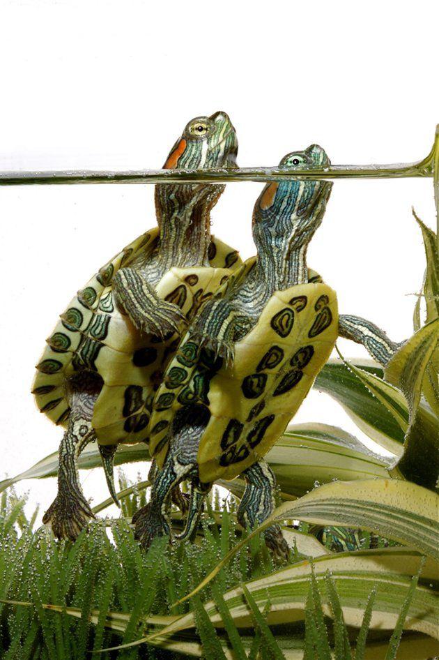 аквариумные черепашки
