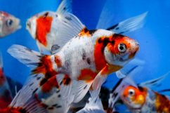 Шубункин имеет длинный хвостовой плавник и встречается во множестве цветовых вариативах. Этих рыб часто держат в декоративных прудах.