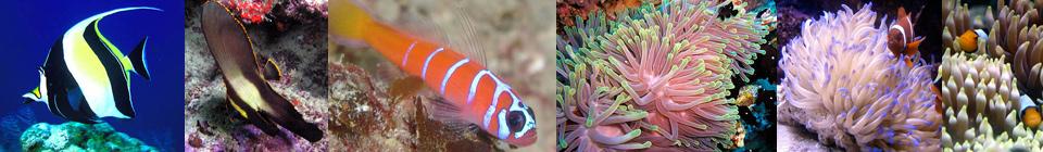Рыбы с одним из самых высоких уровней смертности в аквариумной среде. Эксперты всегда рекомендуют обходить их стороной, чтобы не поддерживать своими деньгами дельцов, наживающихся на прекрасных рыбах, обитающих лишь подле рифов