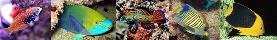 Будучи крайне соблазнительной целью для новичков, виды семейства Macropharyngodon и Anampses плохо себя чувствуют в не рифовых системах: