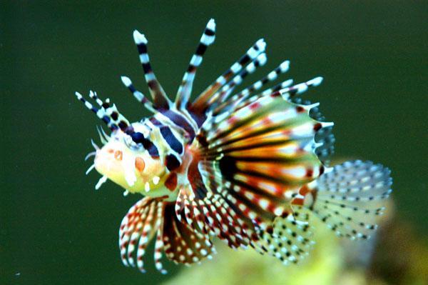 Рыба-забра, имеющая полное международное название Pterois volitans, входит в семейство Scorpaenidae и относится к подсемейству  Pteroinae, насчитывающее 22 вида