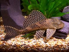 Common-Plecos