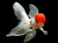 Золотая рыбка. Оранда