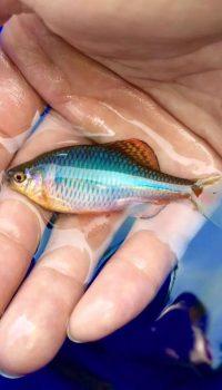 Аквариумные рыбки подвержены стрессу