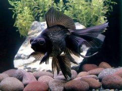 Золотая рыбка. Черный телескоп