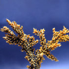Коралл акропора флорида