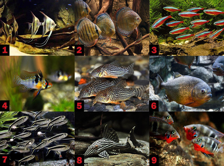 Типичные представители реки амазонка в аквариуме