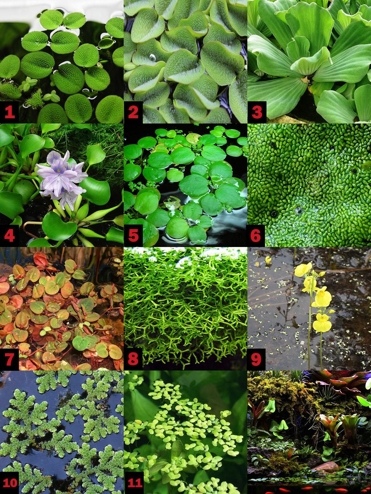 Плавающие растения для палюдариума